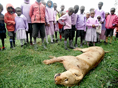 Dead Lions In Africa Killed by Farmers