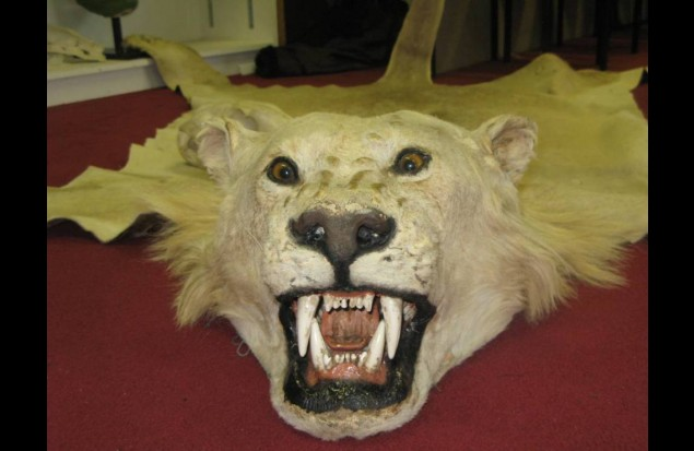 An illegal seized lion trophy in Blackpool zoo