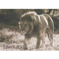 Post Card - Lion in sepia tones 1