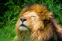 Why do male lions have manes? No other species of large or small cats have these?