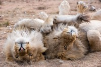 Why do male lions kill cubs?