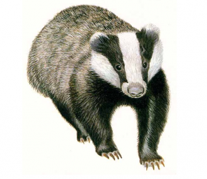 Badger culls, farmer political appeasement, and limited scientific evidence