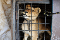 Botswana now also involved in lion trafficking?