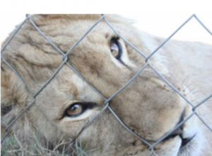 Canned lion hunting in South Africa - who is challenging the trade?