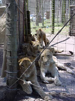 Canned lion hunting, the Appeals Court and complacency