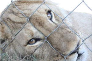 Canned Lion Hunting Woes