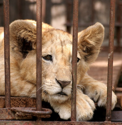 Captive bred lions