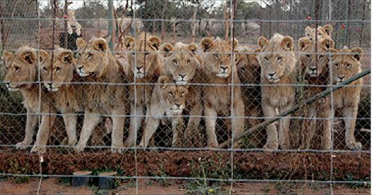 captive lion hunting