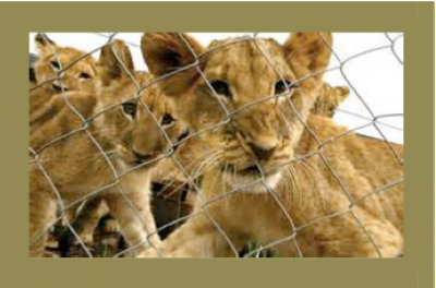 Lionaid How Much Is A Captive Bred Lion Worth News