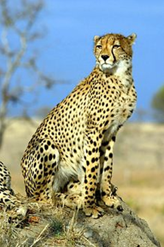 Cheetah and Stop-Over Hunting