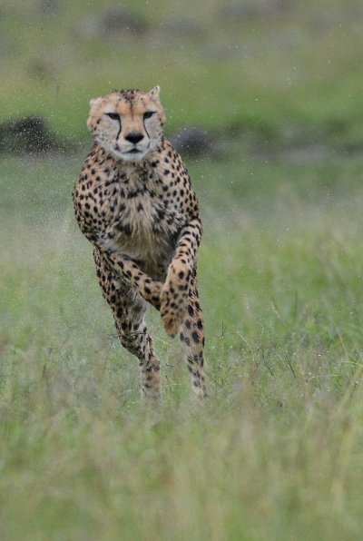 Cheetah jumping