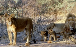 Does trophy hunting of lions contribute to their overall conservation?