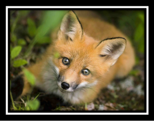 Endorphins, nociceptors, pain, and fox hunting