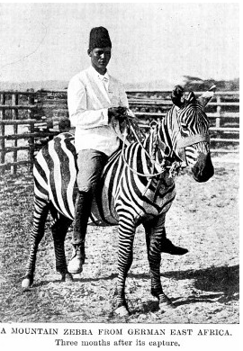 Fascinating facts about zebras, horse sickness and domestication