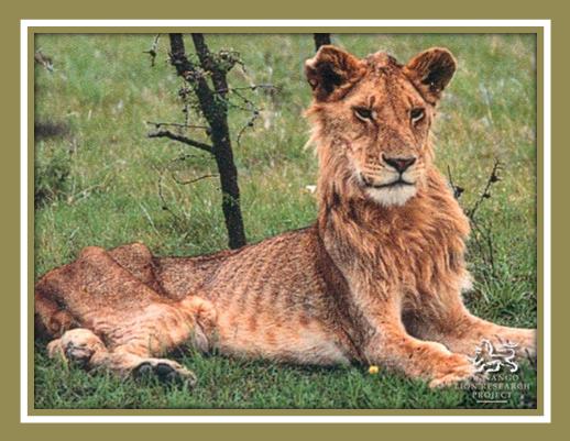 FIV lion