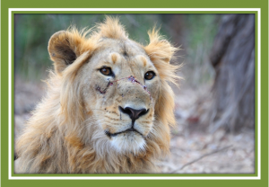 Is disease a threat to the few remaining Asiatic lions ?