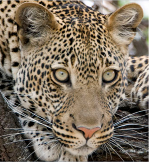 Leopard leopards and sport hunting