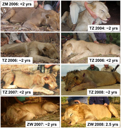 Lion hunters ignore all advice and kill young male lions?