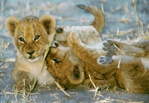 Lion trophy hunting should go extinct before the lions do.