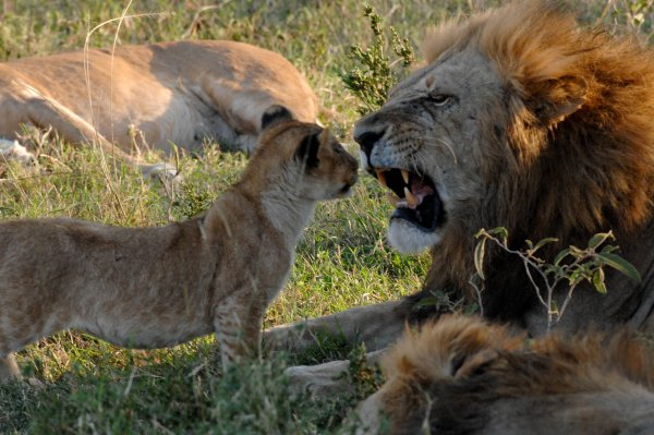 Lion with Dad