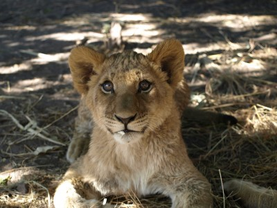 LionAid proposes 10 Point Lion Conservation Programme