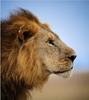 LionAid - Scientific estimate of lion populations in Africa