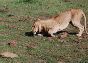 More bad news for Kenya's lions