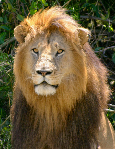 Phil Yates lion print
