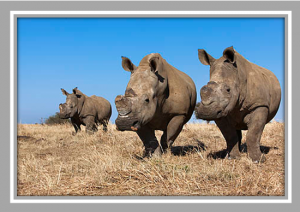 Rhino poaching in South Africa - a recipe with home-grown ingredients