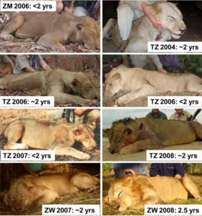 Saving Lions by Killing Them?