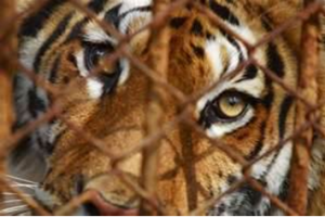 South Africa again supplies a controversial demand for wildlife products - tigers!