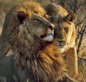 """Taking Action for African Lions"""
