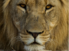 The Inkatha Freedom Party wants canned lion hunting stopped in South Africa