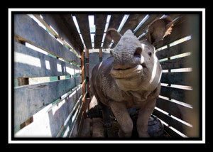 The live rhino trade from South Africa
