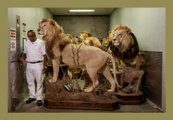 lionaid trophy lions in a freight elevator in preparation for the