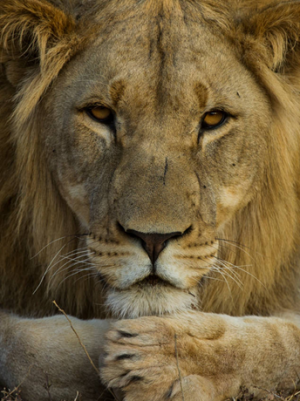 lionaid what is the value of a lion news