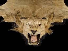 lionaid wild lion trophy hunting in south africa news