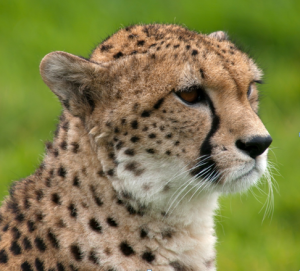Yet more shame for South Africa - live cheetahs supplied to highly questionable destinations